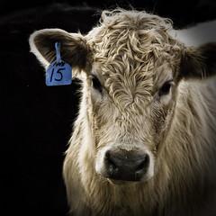 No. 15 portrait (Will Montague) Tags: portrait cow nikon cattle kentucky steer calf bovine montague heifer d80 willmontague