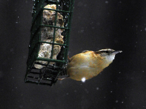 carolina wren suet 3