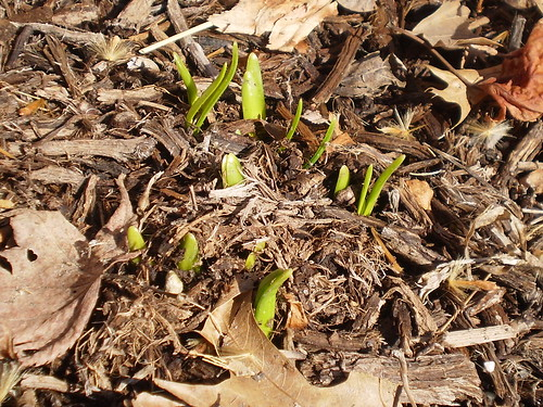 First Daffodils 2010