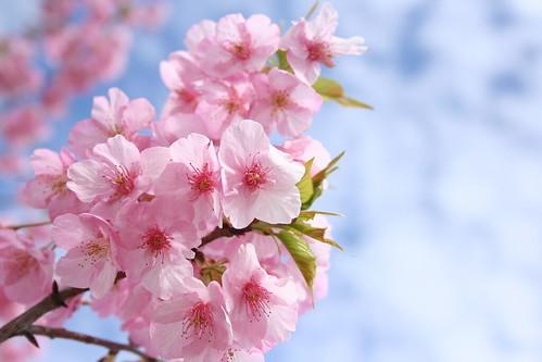 佐鳴湖の河津桜(その1)