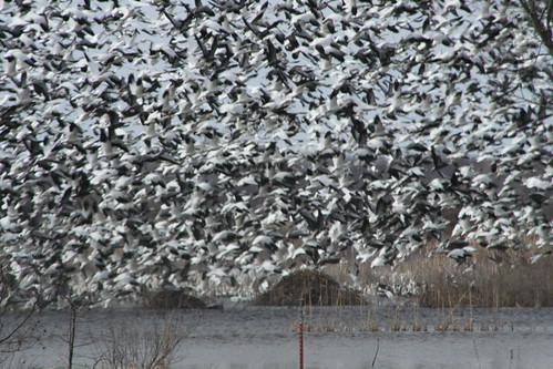Snow Geese in Baker Wetlands
