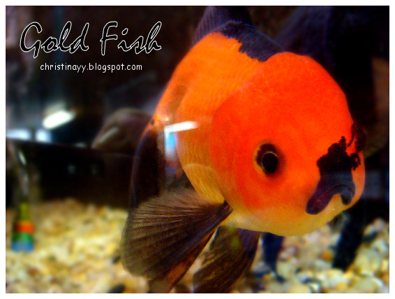Pets Galore: Big Head Gold Fish