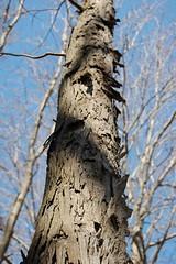 Shagbark Hickory (Matches2) Tags: tree earlyspring shagbarkhickory caryaovata