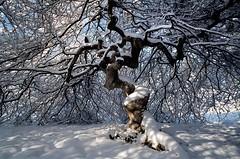 Htres Tortillards de Verzy (O.Blaise) Tags: france hiver evolution neige foret arbre rare adaptation fagus biologie etrange verzy hetre genetique phenotype morphologie tortillard marcotage espece hereditaire reiteratio branchge