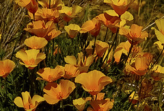 Stop and Smell the Poppies  (view large) (twbphotos) Tags: flowers texas smell elpaso poppies mexicanpoppies terrybell masterphotos stopandsmell twbphotos