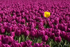 Here I am (BraCom (Bram)) Tags: pink flower field yellow spring error explore tulip naturesfinest ubej bracom