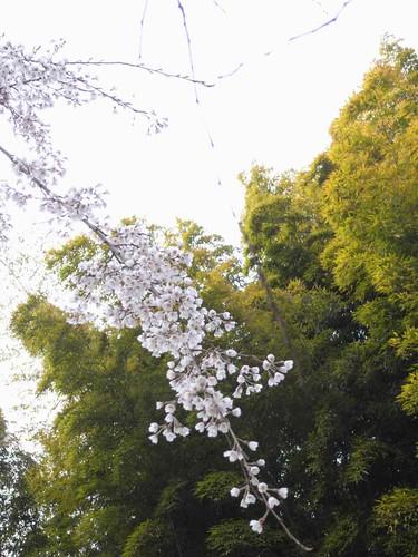 八講桜@桜井市-12