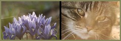 Bach and purple petals (Jen's Photography) Tags: flowers iris pet nature beautiful face animal yard cat garden words illinois spring nikon feline triptych dof purple bokeh harvard bach bulbs 2010 blooming miniatureiris d80 jensphotography