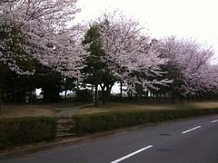 SFCの桜、満開。 (taromatsumura) Tags: flower sakura kanagawa sfc iphone shonandai twitter echofon