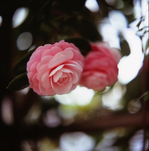 Camellia : Otome