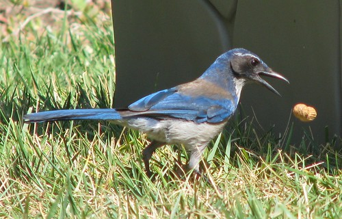 scrub jay and peanut