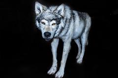 KPCCFaunaWolf-444a (Cyndy Duff) Tags: wolf wildanimal lupine kpccfauna