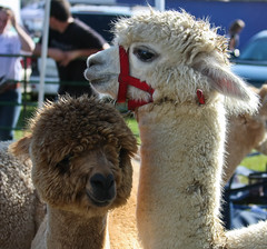 SoMD Llamas 3