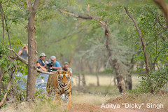 ADS_000005772 (dickysingh) Tags: travel wild india animal mammal outdoor wildlife tiger tourists bigcat aditya predator ranthambore singh ranthambhore dicky adityasingh ranthamborebagh theranthambhorebagh wwwranthambhorecom