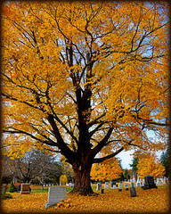 Creating a Golden World. (blamstur) Tags: autumn trees fall cemetery gold maple 15challengeswinner brookfieldcemetery yellow0