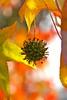 Liquidambar styraciflua (paolo-55) Tags: macro nikon natura autunno liquidambarstyraciflua greatphoto blueribbonwinner 105mmvrmicronikkor d700 goldstaraward