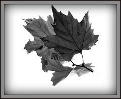 herbst 3 (doroeschen) Tags: herbst schwarzweis abigfave anawesomeshot 71109