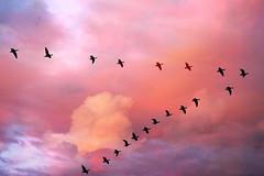 [フリー画像] 動物, 鳥類, カモ科, 夕日・夕焼け・日没, ガチョウ, 群れ・大群, 201008091700