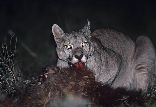 Wild mountain lion-puma. Midnight feast 2