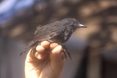 Schistocichla leucostictaJeberos PE 6-01 (barbetboy) Tags: fbwnewbird fbwadded spotwingedantbird percnostolaleucostigma percnostola schistocichlaleucostigma