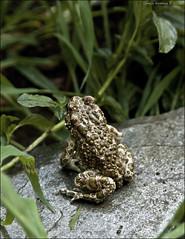 Bufo viridis (Rospo Smeraldino) (Carlo Marras Photographer ) Tags: toad amphibia bufonidae rospo bufoviridis europeangreentoad digitaltool rosposmeraldino carlomarrasphotography