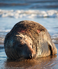 """""""War Wounds"""" (Andy Drake) Tags: wildlife seal donnanook"""