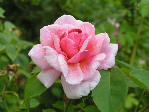 Rose du parc du château de Courson.