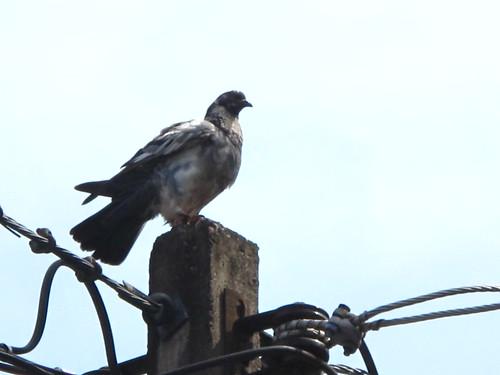 IMG_5753 Hatyai Pigeon