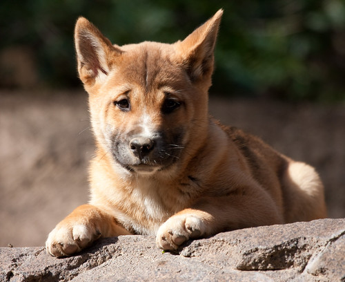 New Guinea Singing Dog