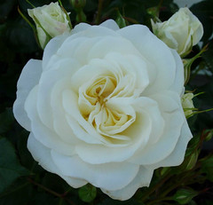 The Wedding Rose