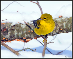 Pine Warbler in Snow (Roy Brown Photography) Tags: brown snow bird nature ecology roy birds pine georgia photography nikon wildlife birding conservation american albany aba nikkor habitat society gos warbler association physiography manfrotto dougherty wimberley buckhorn audubon birdwatcher lowepro d300 gilmer ellijay pinus dendroica bird ornithological photography piwa whitepath watcher ebird physiographic roybrown d300s denpin watching roybrownphotography