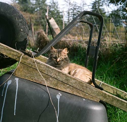 Wheelbarrow Cat