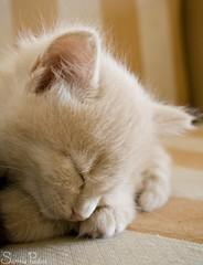 20080816_8937b (Fantasyfan.) Tags: sleeping pet macro cute animal topv111 closeup tag3 taggedout furry topv333 kitten soft tag2 tag1 fluffy sofa tired fantasyfanin pixeli highqualityanimals