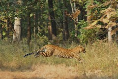 Running Leopard - Pench India (Ami 211) Tags: india leopard bigcat pench panthera felidae pantherapardus pantherinae