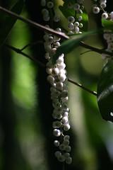 Beeren im Regenwald von Monteverde (die-photographin) Tags: fauna flora costarica florafauna