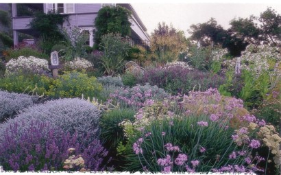 lavendar sage and yarrow garden (Dry Climate Gardening - Orthos)