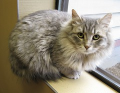 Dolly, a Silvery Gray, Brown & Champagne Colored Medium Long Hair Tabby Girl Cat (Pixel Packing Mama) Tags: heartlandhumanesociety pixelpackingmama tabbycatspool furryfridaypool dorothydelinaporter worldsfavorite montanathecat~fanclub reallyunlimited montanathecat~fanclubpool spcacatspool 15favouritespool ceruleanthecat~fanclub ceruleanthecat~fanclubpool tabbycatsset thetabbycatgrouppool allcatsallowedpool terrifictabbycatspool 50plusphotographersaged50andbetterpool furrificcatspool favoritedpixfirsthalfof2010set pixuploadedfirsthalfof2010set pixtakeninfirsthalfof2010set picturestakenwithcanonpowershota2000isin2010set catskittensstartingjanuary12010set loveofthefelinecommenttheshotonrightpool favup021110 update4sureset pixelpackingmama~prayforkyronhorman fix083112584v2f4c oversixmillionaggregateviews over430000photostreamviews