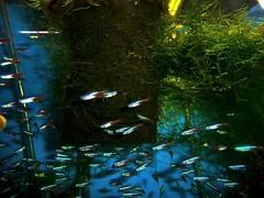 neon tetras at B & D Aquarium, West Seattle (missjenn) Tags: fish aquarium westseattle freshwater bdaquarium