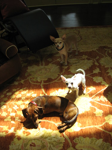 Louis laying in one of his favorite spots, the sunshine.  Lola who has actually gotten really big and Sunny is in the background.  Not a great shot but at least all of them are in one picture!