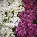 白菊+紫菊