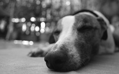 Lazy (Dada Mar) Tags: dog white black nose dof bokeh whippet explore lazy zero thelittledoglaughed