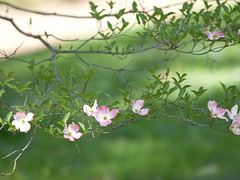 Cornus florida 'Hess Select Red' (--ki---) Tags: dc washington arboretum dogwood usna cornus