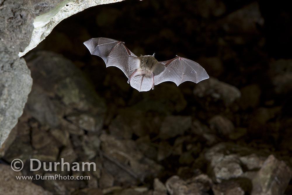 mexican cave bat