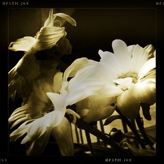 flowers film blackwhite pistil 3gs iphone johnslens... (Photo: teddypeppy on Flickr)
