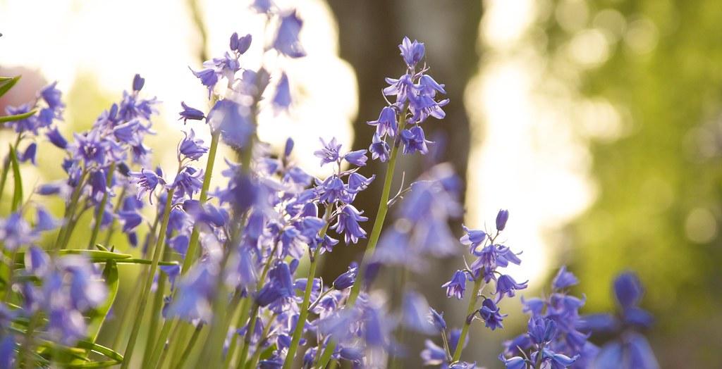 hyacinhoides  273