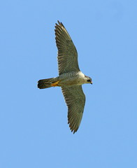 Peregrine! (SteveJM2009) Tags: uk light sky sun detail eye beauty june sussex wings westsussex flight beak feathers bluesky underside falcon overhead chichester peregrine talons plumage stevemaskell peregrinefalcon falcoperegrinus 2011 chichestercathedral naturethroughthelens