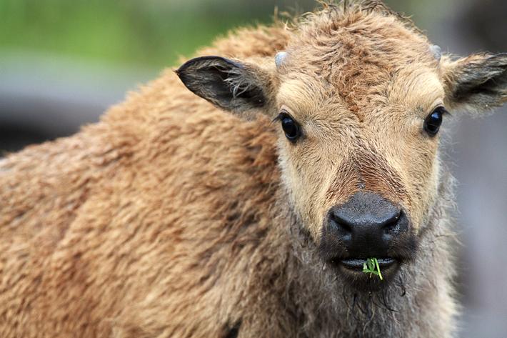 060911_buffalo11