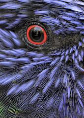 Red and Blue - Riverbanks Zoo (hennessy.barb) Tags: lorikeet bird feathers plumage eye closeup abstract riverbankszoo columbiascblue red redandblue barbhennessy