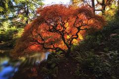 Bush On Fire (Paul Scearce) Tags: seattle washington japanese garden kabuto sunlight colors maple tree pond reflection longexposure