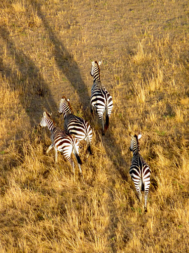 Zebras from the hot air balloon, Maasai Mara, Kenya